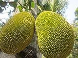 Thailand importiert Durianfrucht Samen Goldene Kissen Durian-Frucht 5pcs