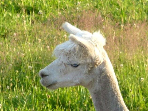 Alpaka Mimik
