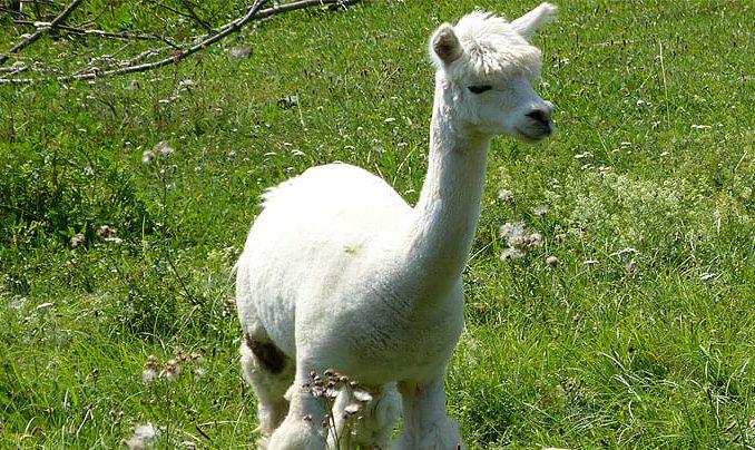 Alpakas in Freital Wurgwitz