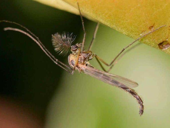 Mücke Insekt