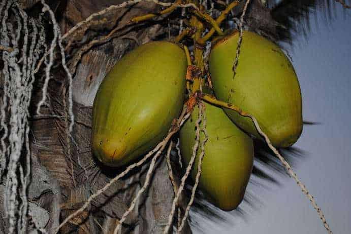 Reife Kokosnuss