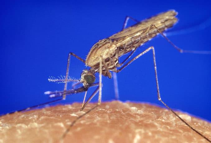 Anopheles Mücke beim Blutsaugen